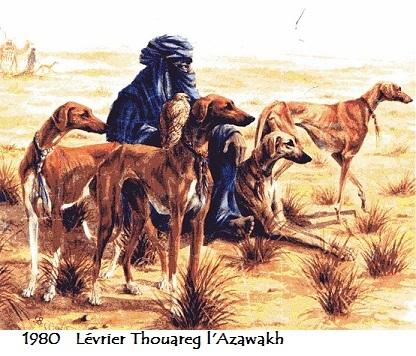 1980 levrier thouareg l azawakh