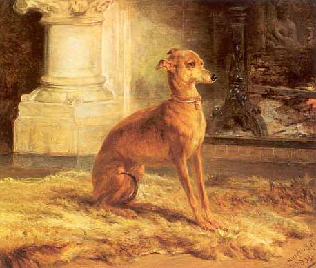 Italian greyhound 24