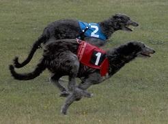 Xdeerhound pvlmini